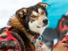 Colby Spears at the finish in Willow during the 2017 Junior Iditarod on Sunday  February 26, 2017.