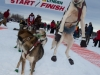 Andew Nolan lead dog jumps in anticipation of leaving the start line of the 2014 Jr. Iditarod Sled Dog Race from Happy Trails Kennel, Big Lake, Alaska Saturday February 22, 2014   Junior Iditarod Sled Dog Race 2014 PHOTO BY JEFF SCHULTZ/IDITARODPHOTOS.COM  USE ONLY WITH PERMISSION